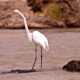 Great egret or great white heron
